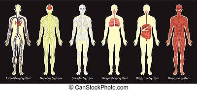 Diagramm von Systemen im menschlichen Körper.