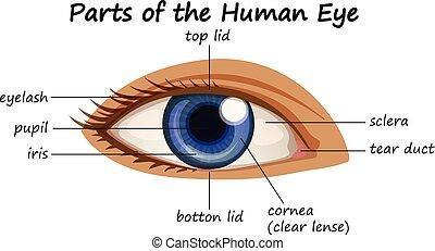 Diagramm zeigt Teile des menschlichen Auges.