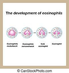 Die Entwicklung von Eusinophilen. Infographics. Vector Illustration