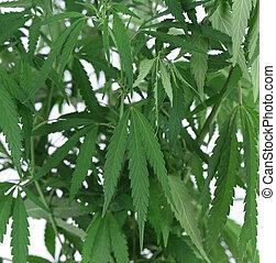 Die grüne Cannabis-Fabrik schließen.
