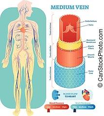 Die mittlere Vektor-Anatomische Vektorgrafik durchquert die Sektion. Kreislaufsystem Blutgefäß-Diagramm der menschlichen Körper Silhouette. Medizinische Informationen.