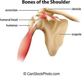 Die Schulterknochen.