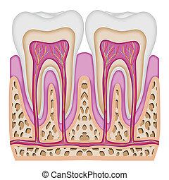 Die Zahnkreuzung