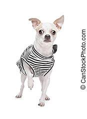 Dressed Chihuahua.