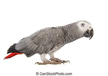 Ein afrikanischer grauer Papagei