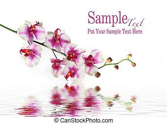 Ein einziger Orchideenstamm auf Wasser