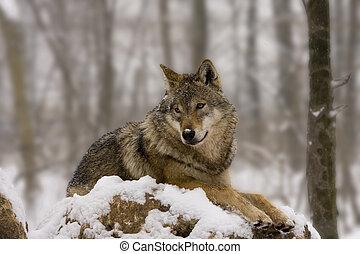 Ein europäischer Wolf wie ein Diorama.