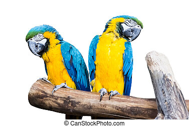 Ein paar blaugelbe Papageien sitzen auf einem abgelegenen Ast.