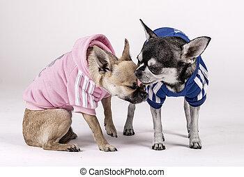 Ein paar Chihuahuas Hunde küssen sich, gekleidet in blau und rosa Kleider.
