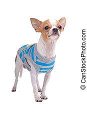 Ein süßer Chihuahua-Hund