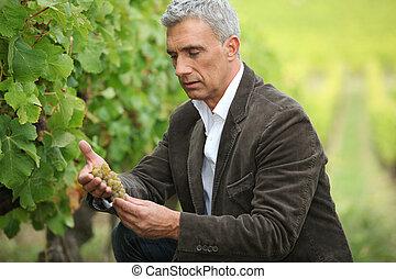 Ein seriöser Mann, der vor der Ernte Trauben kontrolliert