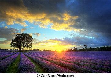 Ein wunderschönes Bild von atemberaubendem Sonnenuntergang mit atmosphärischen Wolken und Himmel über pulsierenden reifen Lavendelfeldern in englischer Landschaft
