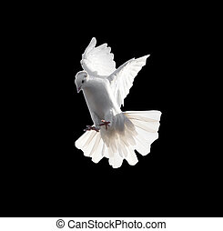 Eine freie fliegende weiße Taube, isoliert auf einem schwarzen Hintergrund.