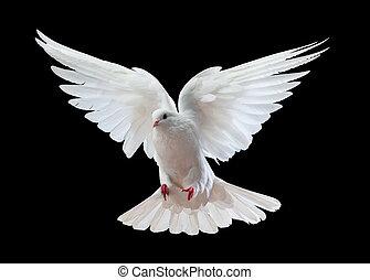 Eine freie fliegende weiße Taube, isoliert auf einem Schwarzen.