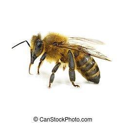 Einzelne Biene isoliert