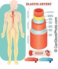 Elastische Arterie anatomische Vektorgrafik Querschnitt. Kreislaufsystem Blutgefäß-Diagramm der menschlichen Körper Silhouette. Medizinische Informationen.