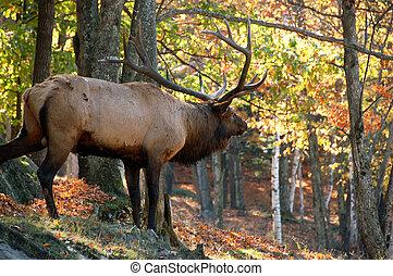 Elk (Cervus canadensis) im Herbst.