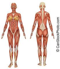 erzieherisch, sehr, muskulös, koerperbau, weibliche , front, hintere ansicht