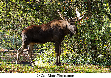 European Moose, Alces Alces, auch bekannt als der Elch