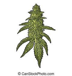 fällig, vektor, blätter, pflanze, stich, buds., abbildung, marihuana