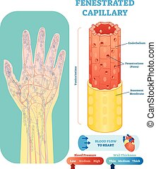 Fenestrated Capillary anatomische Vektorgrafik Querschnitt. Kreislaufsystem Blutgefäßdiagramm auf menschlicher Hand Silhouette. Medizinische Informationen.