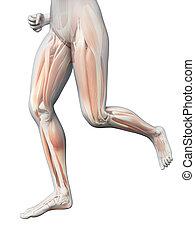 frau, bein, -, sichtbar, jogging, muskeln