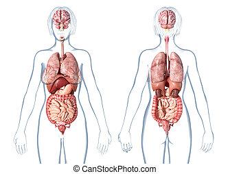 Innere körper organe frau Organe im