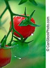 Frische rote und grüne Kirschtomaten