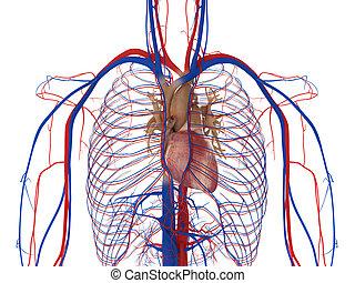 geäder, arterien, herz