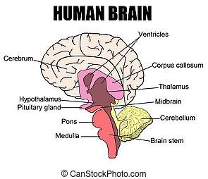 gehirn, menschliche