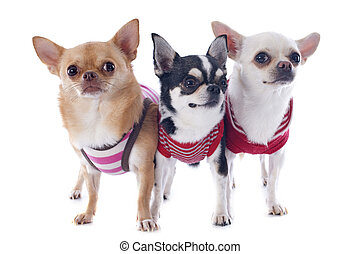 Gekleidete Chihuahuas