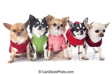 Gekleidete Chihuahuas.