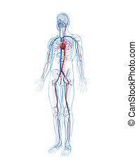 geleistet, system, abbildung, menschliche , vaskulär, 3d