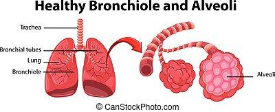 gesunde, bronchiole, ausstellung, diagramm, alveolen