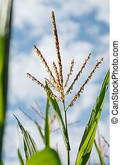 getreide, blätter, blaues grün, troddel, (maize), blütenstaub, gegen, pflanze, himmelsgewölbe
