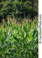 getreide, organische , blätter, grün, (maize), betriebe, klein, bauernhof, üppig, feld, troddeln