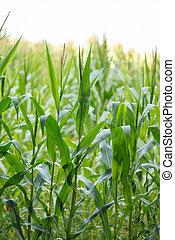 getreide, organische , blätter, grün, (maize), betriebe, klein, bauernhof, junger, feld, landwirtschaft