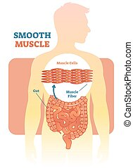 Glatter Muskel-Vektor-Diagramm, anatomisches Schema mit menschlichem Bauch.