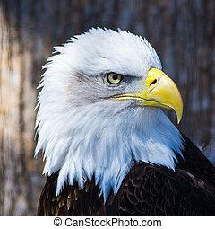 Glatze Adler.