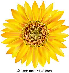 Gold Sonnenblume