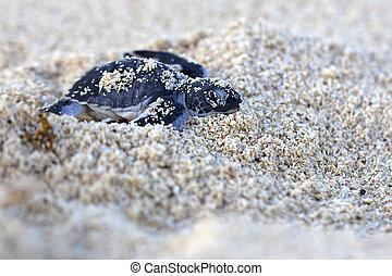 Grüne Meeresschildkröte schlüpft