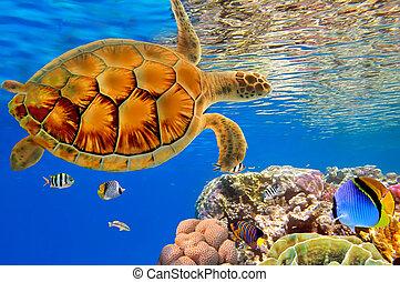 Grüne Meeresschildkröte schwimmt über Korallenriff