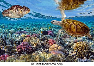 Grüne Schildkröte schwimmt im blauen Ozean