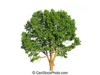 Grüner Baum, isoliert auf weiß.