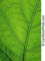Grüner Hintergrund. Eichenblatt-Schlimmung.
