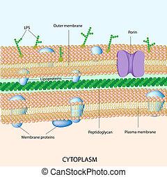 Gram negativ bakterielle Zellwand