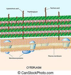 Gram positive bakterielle Zellwand