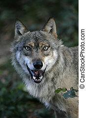 Grauer Wolf, Canis Lupus.