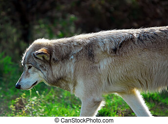 Grauer Wolf (Canis lupus)