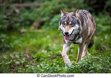 Grauer/eurasischer Wolf (Canis Lupus)